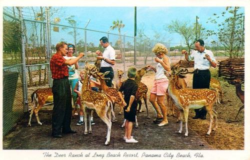 Deer Ranch Postcard 1960s