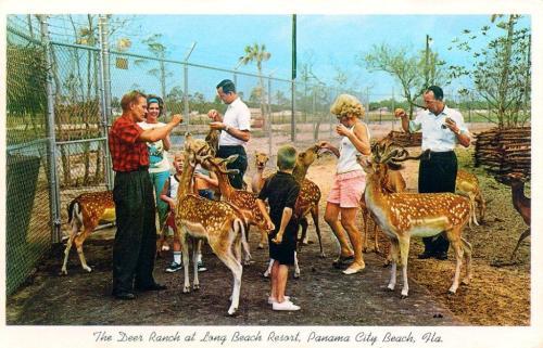 Deer Ranch Postcard 1960s